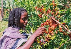 Solino wird handgepflückt - in den besten Anbaugebieten aus Äthiopien