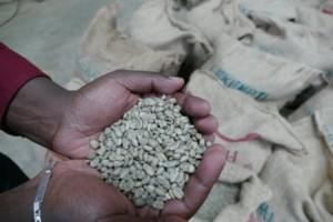 Unsere ausgewählten Sidamo Kaffeebohnen. Bei der Auswahl der Bohnen haben wir uns diesmal besondere Mühe gegeben! Auch um gebrochene Bohnen gut auszusortieren.