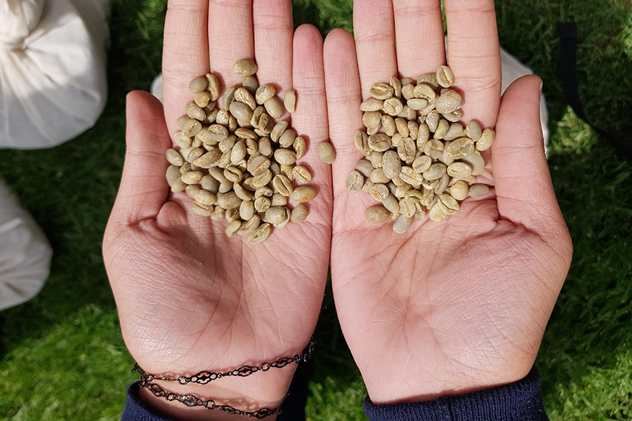 Harar Kaffee - ungeröstete Bohnen Blogbild