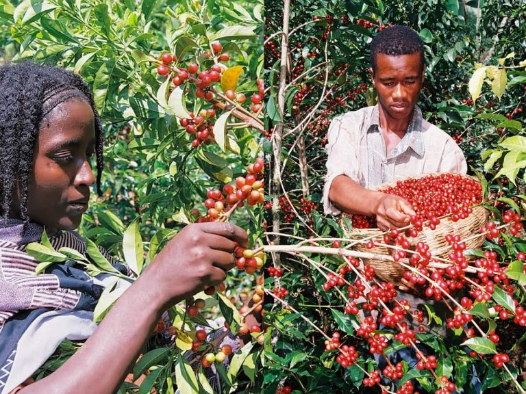 Traditional coffee harvest in Ethiopia (picture gallery)