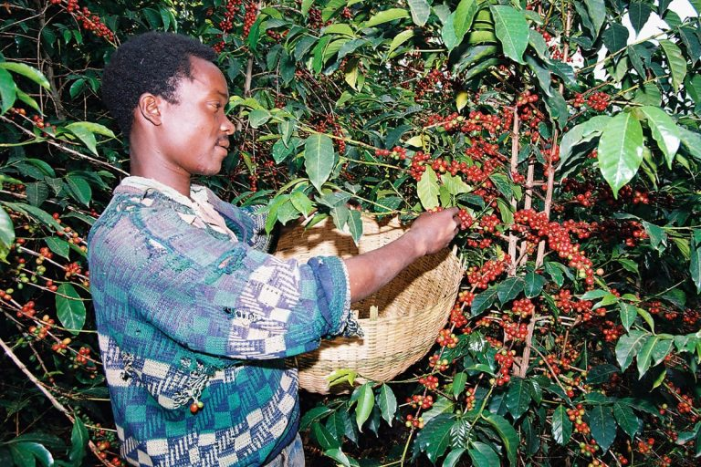 Coffee beans are picked (picture gallery)