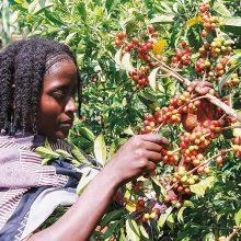 Kaffee-Ernte in den Gebieten Harar, Yirgacheffee, Sidamo