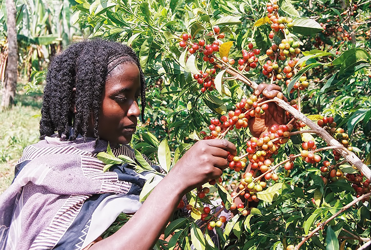 Coffee harvest in Yirgacheffee, Harar and Sidamo
